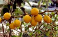 Yellow fruits, not as round as glauca fruits.