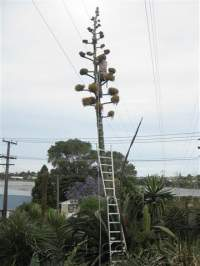 Transpower asked us to cut 2 metres off the top before it disabled Auckland's power supply. Suman did the job with aplomb.