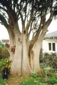 One of the biggest examples in New Zealand, trunk about 2m diameter.