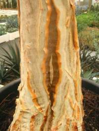 Fissured, attractive trunk.