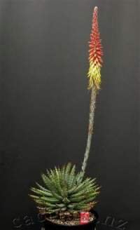 Fully extended inflorescence.