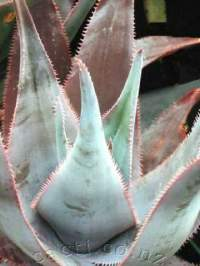 Sawtoothed edge to a stone-grey leaf sets this aloe apart.