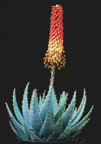 Biggest raceme of any of the small Aloes.