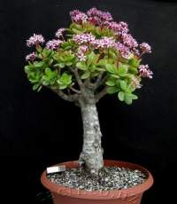 Nice bonsai specimen of this profuse winter bloomer.