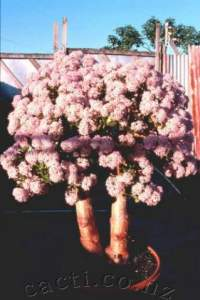 This is the original plant from which all later 'Cherry Blossom's were grown.