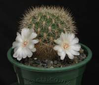 S. cyl. crucensis White flower WK 671