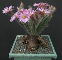 Pretty flowering cactus with raiseable rootstock.